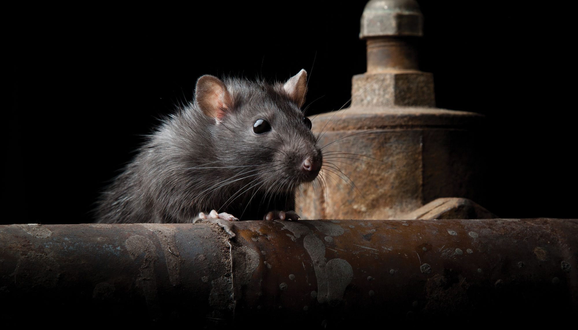 Why Seattle Is One of the Most Rat-Infested Cities in America ...