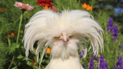 Don't cut your hair during quarantine or else you might look like this rooster.