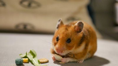 Photo of author's hamster, Peachy Keen